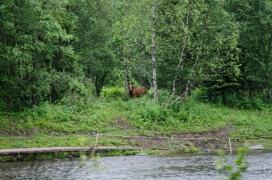 Hester hadde sommerbeite på andre siden av elva. Foto: Marta Øgaard